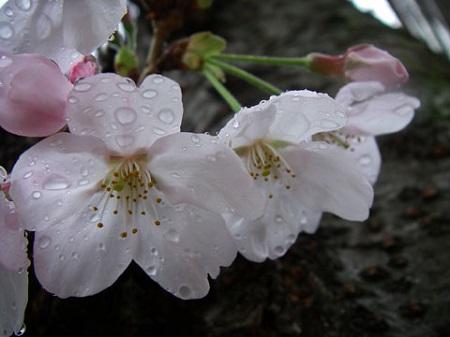 花冷えの季節の画像