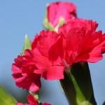 【母の日】カーネーションとバラの違いはどこで見分ける?