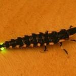 蛍の幼虫も光ることを知っていますか?
