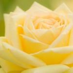 父の日に送るバラの色が黄色のワケはこうだった!