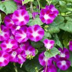 朝顔の花が咲かない理由は3つの原因がある