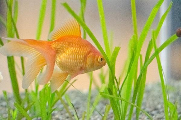 水槽で泳ぐ金魚の画像