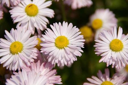 菊の花の画像