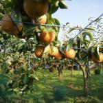梨の品種一覧!大きいのは愛宕、甘いのは秋栄