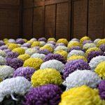 菊花の候の使う時期、読み方や意味を調べる