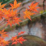 黄葉する葉と紅葉する葉の違いは?