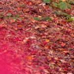 向島百花園の紅葉の見頃はいつ?【2016年版】