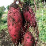 紅芋と紫芋の味や栄養の違いと私達が勘違いしている事について