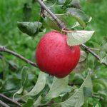 レッドゴールドというりんごの品種の特徴について