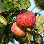 千秋というりんごの品種の特徴について