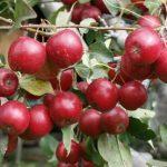 アルプス乙女というりんごの品種の特徴について