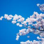 桜花爛漫の候の読み方と意味、使う時期はいつ?