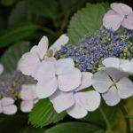 夏至に紫陽花を使った素敵なおまじないがあることを知っていますか?