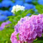 芭蕉や正岡子規の有名な紫陽花の俳句まとめ