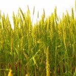 麦秋の候を使う時期はいつ?読み方と意味などを考察