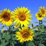ひまわりは東向きに咲くって本当?太陽との関係性は?