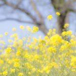 菜の花とほうれん草の見分け方や栄養価の違いを調べる!